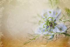 Vintage Nigella (*GloriousNature*bySusanGaryPhotography) Tags: macro floral vintage worn tintype distressed oldfashioned nigella gloriousnature floralessence susangary flypapertextures susangaryphotography tintype18and25
