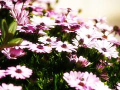 Belleza etrea 1 (_Zahira_) Tags: pink flowers flores luz lafotodelasemana rosa olympus orton ngr e500 uro ltytr1 efectoorton