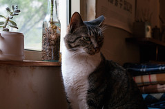 (.cat) Tags: cat tabby