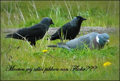 Do we want to accept everything Flickr wants? (Goldy Rose) Tags: birds layout freedom flickr pick picking doves choise jackdow freechoise