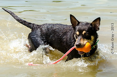 Limit Swims 2013-05-21-11 (falon_167) Tags: dog australian limit kelpie australiankelpie