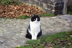 waiting cat (kiarras) Tags: look cat garden belgium jardin gato bruges mirada belgica brujas