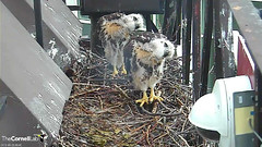 synchronized siblings2 (Cornell Lab of Ornithology) Tags: bird nest cams cornell redtailedhawk nestlings labofornithology cornelllabofornithology