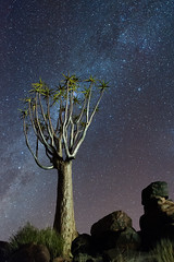 Quivert Tree Forest (1) (Monique vd Hoeven) Tags: nightphotography tree night namibia milkyway quiver d700 kokerbomen quiverforest