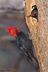 Carpintero negro macho y hembra,  Campephilus magallanicus, Magallanic woodpecker. (Sergio Bitran M) Tags: chile patagonia bird southamerica ave carpintero 223 piciformes 2013