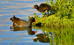 Moorhen and Chick. (spw6156 - Over 5,160,003 Views) Tags: copyright steve  chick iso cropped waterhouse moorhen 800d800150500mm lensheavily