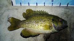 WP_20130617_020 (Cases4Cases) Tags: lakewashington mercerisland lakefishing rockbass catchandrelease catchrelease