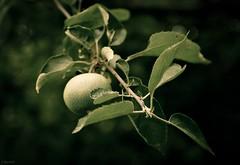 green apple (Jen MacNeill) Tags: tree green apple fruit orchard jennifermacneilltraylor jmacneilltraylor jennifermacneill jennifermacneillphotography