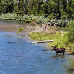 Bull Moose on the Snake River thumbnail