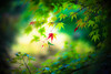 Little Autumn (moaan) Tags: life leica 50mm dof bokeh dream f10 dreaming momiji japanesemaple utata osaka noctilux mino m9 2013 inlife leicanoctilux50mmf10 leicam9 minoquasinationalpark