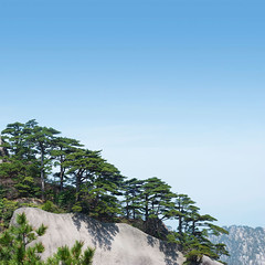 Huangshan Pines (aphotostory) Tags: china travel blue summer sky cliff plant tree green tourism nature rock pinetree landscape outdoors nationalpark spring asia hill nobody growth granite backgrounds copyspace awe vacations highup clearsky steep traditionalculture persistence businesstravel chineseculture crag vitality eastchina traveldestinations locallandmark ruralscene beautyinnature nationallandmark asianculture mthuangshan anhuiprovince peopletraveling huangshanmountains travellocations