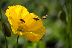 Landing Zone (GS_Imagery) Tags: flowers flower colour nature spring bees bee 500d