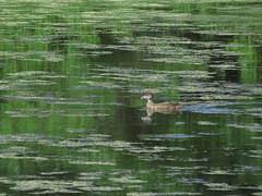 Monet (Keith Michael NYC (4 Million+ Views)) Tags: nyc ny newyork monet statenisland woodduck mountlorettouniquearea