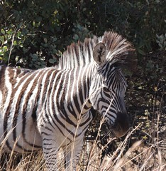 Zebra (F14 FireFly) Tags: nature reserve zebra groenkloof