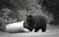 Ralph ('Dazza' Quarin...putting the camera away) Tags: bear canada garbage britishcolumbia bears blackbear