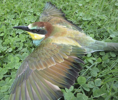 Bee-eater / Guêpier d'Europe