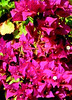 "Bouganvilla • <a style=""font-size:0.8em;"" href=""http://www.flickr.com/photos/101656099@N05/9736795000/"" target=""_blank"">View on Flickr</a>"