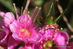 Hopper (Simon Cherriman) Tags: myrtle grasshopper wildflowers 100mmmacro perthhills hypocalymma canon600d