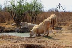 Rhino and Lion Park/Nature Reserve. South Africa. Sep/2013 (EBoechat) Tags: africa do south tiger lion reserve ostrich safari rhino avestruz cheetah lioness tigre sul leo leoa guepardo parknature rinocerante sep2013