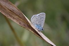 Lycaenid Butterfly (alexandra.major) Tags: blue macro nature closeup fauna butterfly fly wings bokeh greenbeautyforlife