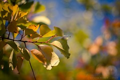 Colors and Light (icemanphotos) Tags: blue autumn sunset red sky orange sunlight abstract fall colors beautiful leaves yellow leaf interesting dof bokeh naturallight dreamy canon50mmf14 bokehlicious icemanphotos