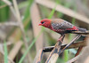 Red Avadavat  (Amandava amandava)- Male (Gurusan2010) Tags: amandavaamandava strawberryfinch redmunia okhlabirdsanctuary