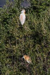 Squacco Heron (Ardeola ralloides)-3853.jpg (Stein Arne Jensen) Tags: ardeidae ardeolaralloides bird canalgran canon60d ciconiiformes crabierchevelu espagne espanya españa fugl garcillacangrejera garçacaranguejeira grancanal hegrefamilien herons islasbaleares mallorca muro pajaro paparatos rallenreiher ralreiger reiher salbufera schreitvögel sigma150500mmf563 spain spania spanien squaccoheron steinarnejensen storkefugler tsn174864 topphegre toret vogel ardeidas ciconiformes lintu oiseau rääkkähaikara жёлтаяцапля птица البلشونالذهبي カンムリサギ 白翅黄池鹭 鳥 鸟 nogru