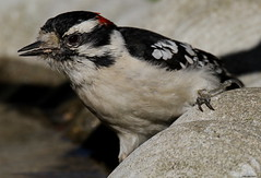 Thirsty Downy (Diane Marshman) Tags: autumn red white black male fall nature water face birds back wings woodpecker birdbath streak head pennsylvania top wildlife chest birding wing feathers spot belly pa spotted underneath throat northeast downy northeastern