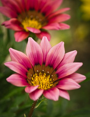flower [Explore Dec 1, 2013 #3 (Mariasme) Tags: pink flower bokeh