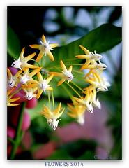 Flowers 2014 (cpark188) Tags: closeup bokeh picasa lumix20mmf17 floweroftheworld olympusepl3