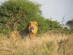 IMG_2763 (Marko_J_Aho) Tags: southafrica lion kruger afrikka2013 sataramorningwalk