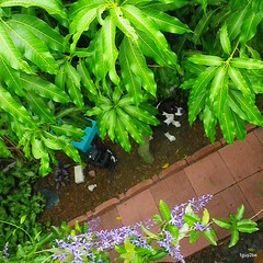 Zeeby  5-29-2012 3-57-030 (1guy2be) Tags: color nature pentax florida vine tropical bluebird mangotree tender perennial petrea volubilis verbenaceae queenswreath zeeby sandpapervine petreavolubilis bluebirdvine 1guy2be in2it2much richardpriceelliott homesanctuary