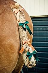 549589_292183230888896_538089119_n (Tony Golding) Tags: horse flights equine plait horsemanship workinghorse suffolkpunch plaiting heavyhorse tonygolding heavyhorsephotography