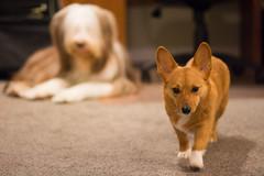 Sawyer 7 of 52 (Kayley Luftig) Tags: dog pets canada dogs photo corgi sawyer beardedcollie 52 week7 752 52weeksfordogs nikond7100