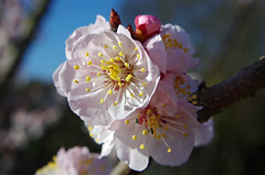 Thse-la-Romaine (Loir-et-Cher) (sybarite48) Tags: france flower fleur flor apricot  blume fiore bloem iek loiretcher  kwiat damasco  albaricoque morela aprikose albicocca   abrikoos kays abricotier      thselaromaine