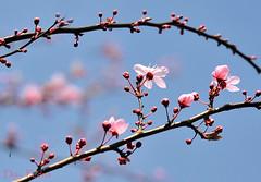 en-toen-was-het-lente (Don Pedro de Carrion de los Condes !) Tags: spring bomen thuis lente bloesem donpedro knoppen voorjaar botten feestelijk bloesemtak lentetak