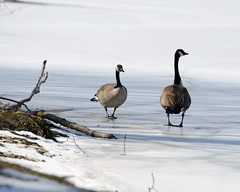 Frozen Pond (MVMoore59) Tags: cold ice birds pond delaware newark autofocus beckspond ringexcellence dblringexcellence