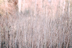 (Tom Greenep) Tags: light sunset sun grass reeds woods arboretum filmlook lightroom5 dxofilmpack4 vision:text=0588 vision:mountain=0635 vision:sky=0532 vision:outdoor=0841
