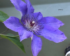 A Clematis in my garden (pat.bluey) Tags: flowers blue clematis australia newsouthwales blacktown 1001nights mygarden sunrays5