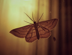 Moth (tylersullivan618) Tags: camera old light fall window glass night vintage butterfly bug insect photography see fly photo nocturnal moth lofi picture lepidoptera flies through nite disposable flys crepuscular diurnal