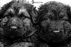 poor Twins (Nobysta) Tags: blackandwhite bw dog blackwhite twins poor blackdog week hardlife babydog babydogs