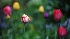Hidden Eggs (AnyMotion) Tags: flowers plants primavera nature floral colors garden spring colours blossom bokeh frankfurt natur pflanzen blumen tulip blte garten printemps tulipa farben frhling tulpe 2014 anymotion canoneos5dmarkii 5d2