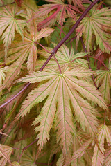 Spring leaves acer palmatum 'Ariadne' (Four Seasons Garden) Tags: uk england leaves garden four spring seasons foliage acer walsall ariadne palmatum