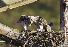 Taking a bite out of your sibling. Red-tailed Hawk, Buteo jamaicensis, hatchlings on the nest. Morro Bay, CA (Donald Quintana Nature Photography) Tags: california nest hawk morrobay immature downy fledgling redtailedhawk hatchling nestling nestbird photoofthedaynwf12 nestisolated