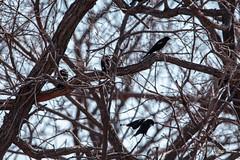 IMG_6335.jpg (evilfoo) Tags: 2014 mn nwr april bigron birds bloomington spring test