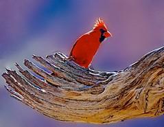 In the Cradle (Feathered Trail Photos) Tags: arizona cardinal coronado avianexcellence