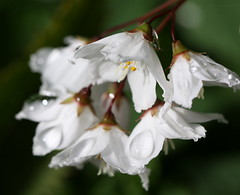 blossoms after the rain (bugman11) Tags: flowers white flower macro nature rain canon droplets petals drops flora blossom blossoms