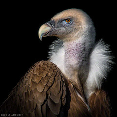 the vulture (Wolf Ademeit) Tags: portrait color detail sony feather vulture sgima wolfademeit
