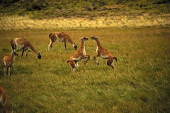 Juvenile Guanacos Playing (vitatus) Tags: chile park patagonia playing mountains nature animals nikon perfect flickr shot outdoor wildlife breath photographic andes fields moment fighting pure chilean precise guanaco camelid naitonal d700
