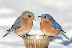 Eastern Bluebirds (Sialia sialis) (Steve Byland) Tags: bird nature canon feeder 7d bluebird eastern markii mealworms sialis sialia